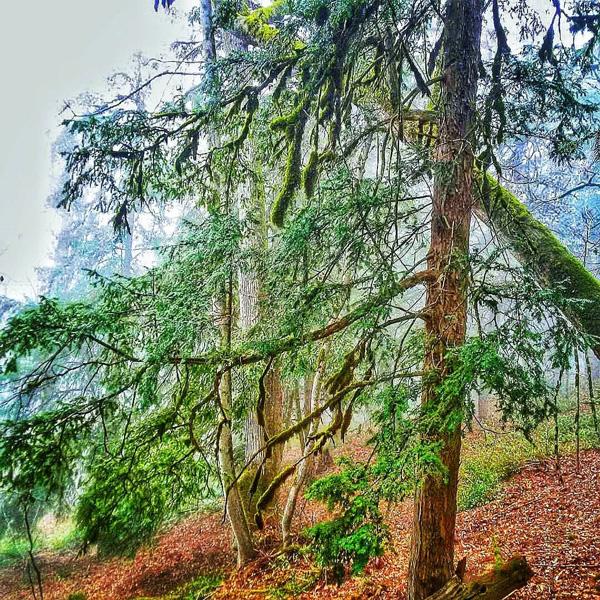 جنگل سرخدار